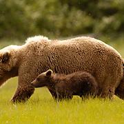 Alaskan Brown Bear (Ursus middendorffi) Mother walking with cub. Katmai National Park. Alaska. Spring...Alaskan Brown Bear (Ursus middendorffi) Mother walking with cub. Katmai National Park. Alaska. Spring.