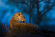 Leopard relaxing on an anthill in Sabi Sands Game Preserve at the last moment of the evening.