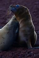 Galapagos sea lions, Zalophus wollebaeki, at Galapagos islands National park, UNESCO World Heritage Site.