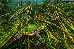 Pseudemys concinna floridana, Gewoehnliche Florida Schmuckschildkroete, unterwasser zwischen Pflanzen, Florida River Cooter, underwater between waterplants, Rainbow River, Dunnellon, Marion County, Florida, United States, USA, Februar 2014