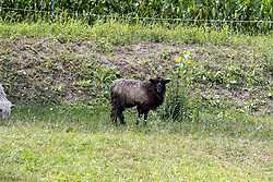 Black sheep in a pasture with a good coat of wool