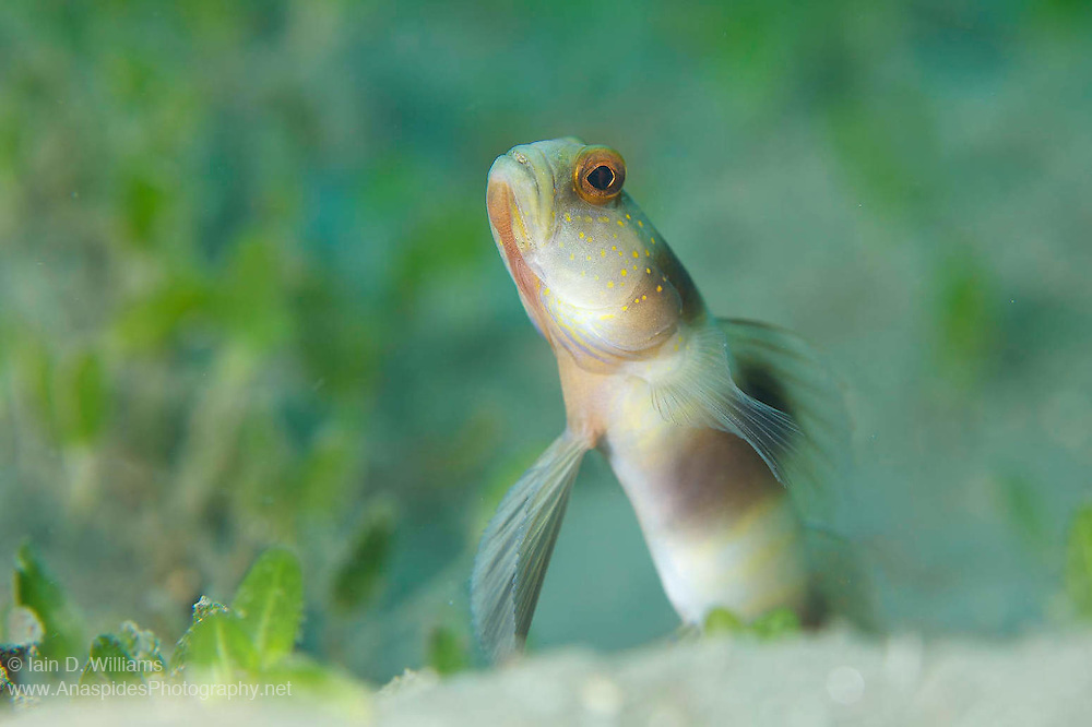The giant shrimpgoby can often be observed in mud and silt environments where it constructs a burrow in the soft substrate.  Gobies rarely venture far from their burrow and prefer to wait for prey to come within striking distance of their burrow