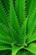 A green alpine plant defends itself with sharp jagged leaves in the Andes Mountains, Peru, South America.