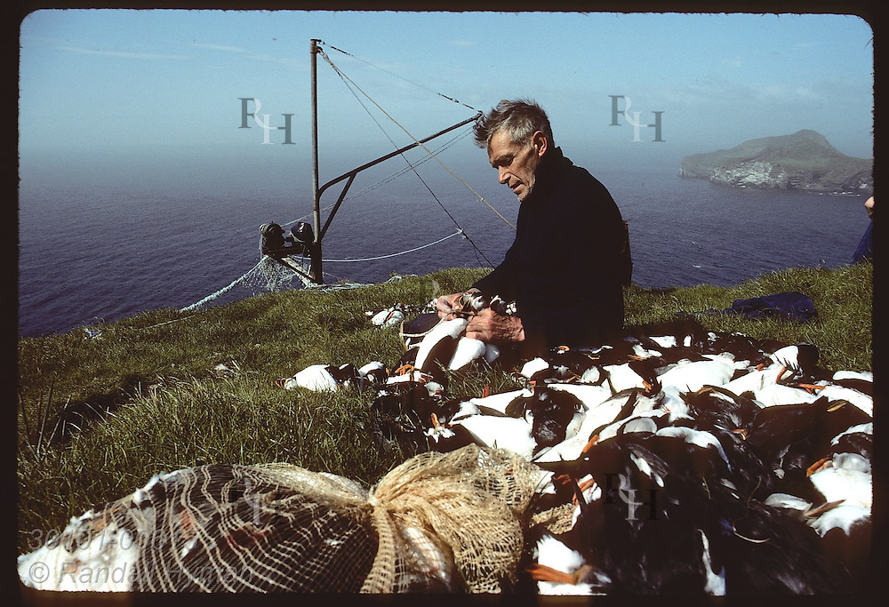 Hlodver Johnsen ties dead puffins together by neck for tossing off cliffs to boat off Bjarnarey Iceland