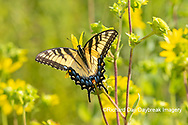 03023-03412 Eastern Tiger Swallowtail (Papilio glaucus) on Rosin Weed (Silphium integrifolium) Marion Co. IL