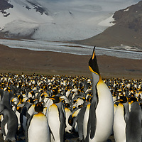 A King Penguin calls for its chick amongst uncounted thousands crowding a rookery at Salisbury Plain, South Georgia, Antarctica.