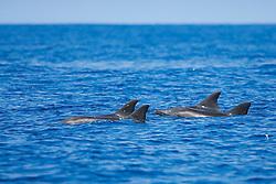 Rough-toothed Dolphins, spouting, Steno bredanensis, off Kona Coast, Big Island, Hawaii, Pacific Ocean.