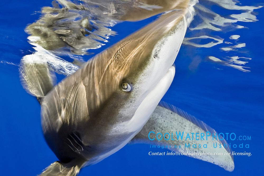 oceanic whitetip shark, Carcharhinus longimanus, displaying nictitating membrane, Kona Coast, Big Island, Hawaii, USA, Pacific Ocean