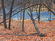 Autumn leaves and frozen wetland along a trail in the Seine River Forest<br />Winnipeg<br />Manitoba<br />Canada