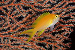 Pseudanthias pleurotaenia, Neon Fahnenbarsch, Weibchen, Mirror fairy basslet, female, Tulamben, Bali, Indonesien, Indopazifik, Indonesia Asien, Indo-Pacific Ocean, Asia