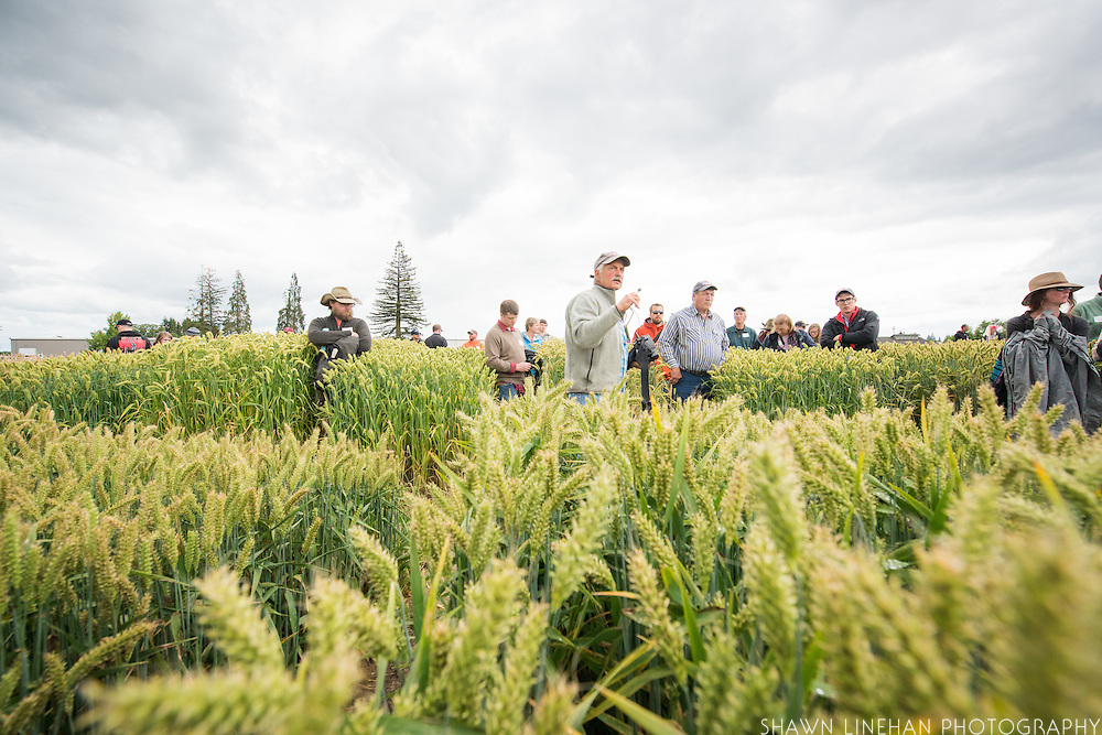 Pat Hayes, a barley researcher and breeder at Oregon State University gives a tour of some of the research barley fields during the 2016 Cascade Barley Day.