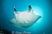reef manta ray, Manta alfredi (formerly Manta birostris ), with cephalic fins rolled up, being cleaned by moon wrasses, Thalassoma lunare, and blue-streak cleaner wrasses, Labroides dimidiatus, Hanifaru Bay entrance, Hanifaru Lagoon, Baa Atoll, Maldives ( Indian Ocean )