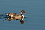 Pintail drake with reflection