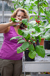 Pinching out the growing tip of an aubergine to keep the plant bushy, encourage side branch formation and promote more fruiting