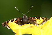 Small Tortoiseshell Butterfly, Aglais urticae, Kent, UK, resting on yellow flower, wings open, colourful