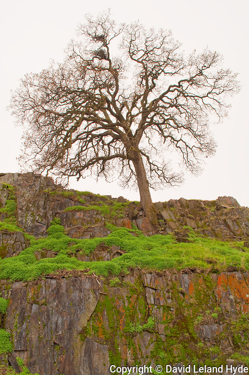 Oak Tree Growing Out of Mossy Rocks Near Mariposa with Bird's Nests, Sierra Foothills, Mariposa County, California Mountains, copyright 2010 David Leland Hyde.