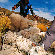 Shearing their llamas. Jesús de Machaca, Bolivian Altiplano.