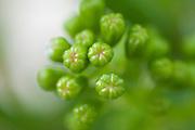 Bulbous green growth