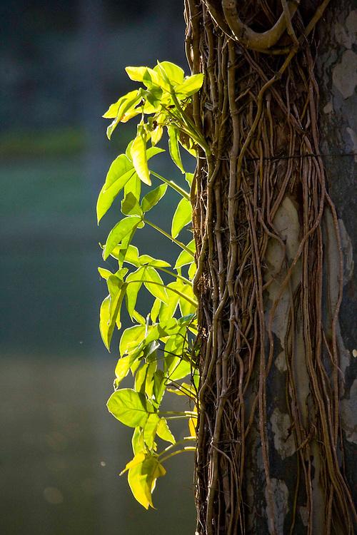 Brumadinho_MG, Brasil...Centro de Arte Contemporanea Inhotim (CACI). Na o tronco de uma arvore...Inhotim Contemporary art Center (CACI). In this photo, a branch tree...Foto: JOAO MARCOS ROSA /  NITRO