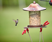 Ruby-throated Hummingbird. Image taken with a Nikon D850 camera and 200 mm f/2 VR lens