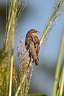 Passer domesticus, House Sparrow, Resting On A Stem