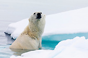 A polar bear (Ursus maritimus) sitting on a piece of submerged ice before climbing out of icy water, Spitsbergen, Svalbard, Norway