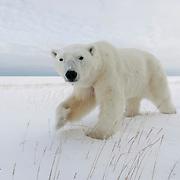 Polar bear (Ursus maritimus) walking in the snow. Cape Churchill, Churchill, Manitoba, Canada