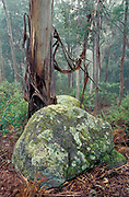 Eucalyptus Forest, Wet Gully's, Tidbinbilla Nature Reserve, Australia