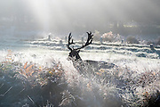 © Licensed to London News Pictures. 02/11/2016. Richmond, UK . Deer push their way through the frosty grasses. Deer in the frost in Richmond Park London today 2nd November 2016. much of the country experienced a frost overnight. Photo credit : Stephen Simpson/LNP