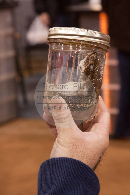 SWEETWATER, TX - MARCH 14: A customer holds up a jar with a western diamondback rattlesnake head on sale during the 51st Annual Sweetwater Texas Rattlesnake Round-Up, March 14, 2009 in Sweetwater, Texas. Approximately 24,000 pounds of rattlesnakes will be collected, milked for venom and the meat served to support charity. (Photo by Richard Ellis)