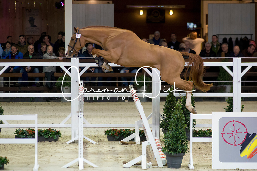 017, Nadal van Seven Oaks<br /> BWP Hengsten keuring Koningshooikt 2015<br /> © Hippo Foto - Dirk Caremans<br /> 23/01/16