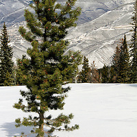 USA, Colorado, Beaver Creek. Scenic pine in snow of the Colorado mountains in winter.