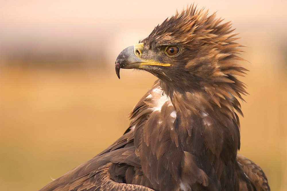 The look of a hungry golden eagle before the Eagle Hunting Festival which celebrates Kazakh culture, Bayan Olgi, Mongolia.  Kazakhs have hunted with eagles for centuries and the best way to make them hunt is to starve them of food.  The Eagle Hunting Festival has revived Kazakh culture which was surpressed under Soviet rule.
