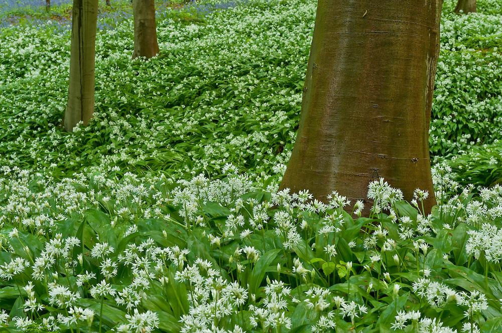 Wild garlic Allium ursinum,  Hallerbos forest Belgium