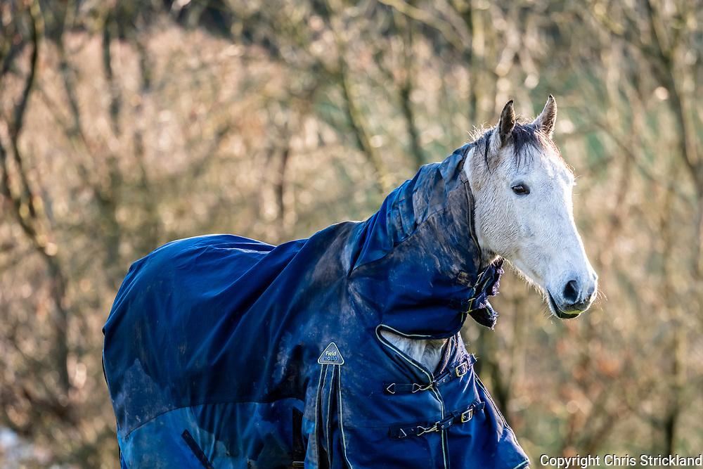 Hawick, Scottish Borders, UK. 24th November 2018. A grey horse in a blue New Zealand rug at Roberton near Hawick.