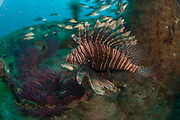 Volitans Lionfish (Pterois volitans) on the wreck of the U-352