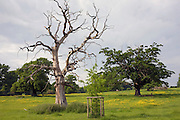 Dead Elm tree besides a newly planted sapling in Sherbourne, Gloucestershire, United Kingdom
