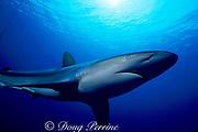 silky shark, Carcharhinus falciformis, Bahamas ( Atlantic )