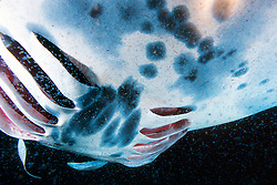 reef manta ray or coastal manta, feeding on plankton at night, Manta alfredi, note gills which extract food, Kona Coast, Big Island, Hawaii, USA, Pacific Ocean