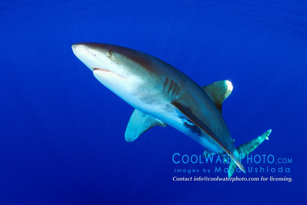 oceanic whitetip shark, Carcharhinus longimanus, Big Island, Hawaii, Pacific Ocean