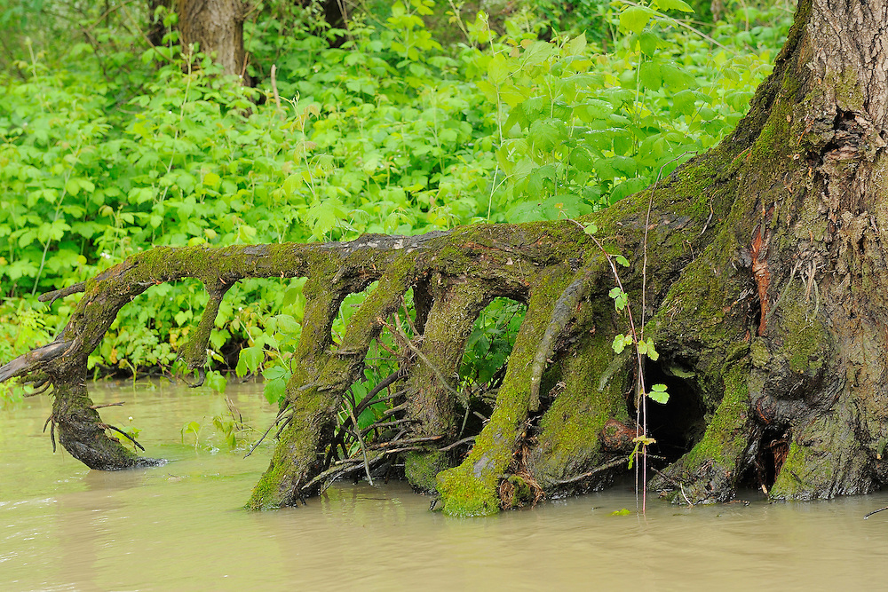 Swamp forest, Danube delta rewilding area, Romania