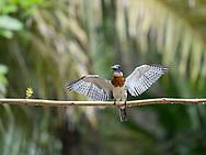 Amazon Kingfisher (Chloroceryle amazona) in the mangroves near Quepos, Costa Rica.