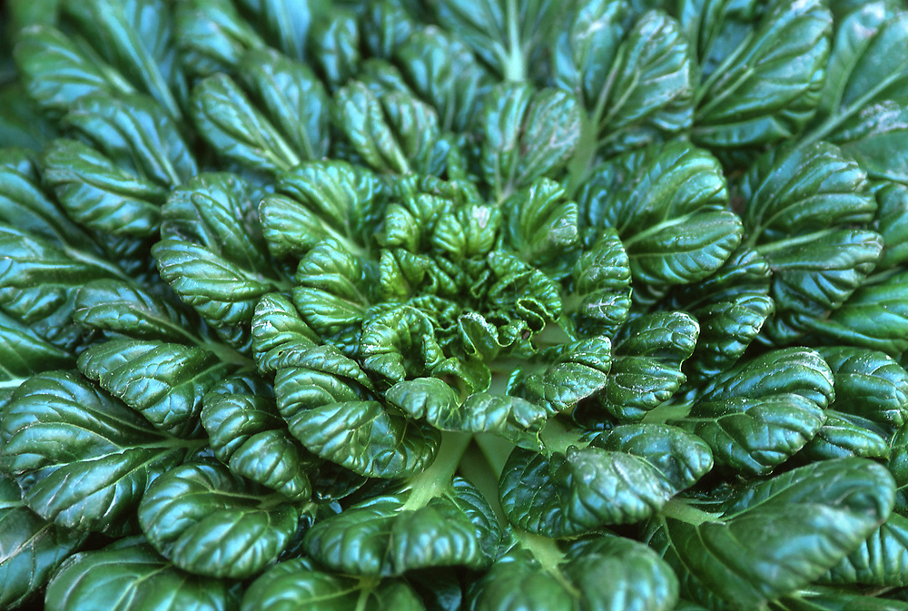 Close up overhead view of a head of raw Tat Soi leaf vegetable