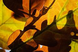 Quercus petraea