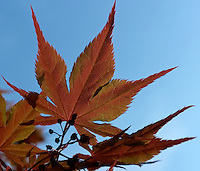 Early Spring Maple Tree Leaf. Image taken with a Leica D-Lux 5 camera (ISO 100, 14.9 mm, f/4, 1/1000 sec)
