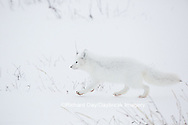 01863-01715 Arctic Fox (Alopex lagopus) at food cache, Cape Churchill, Wapusk National Park, Churchill, MB Canada