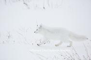 01863-01715 Arctic Fox (Alopex lagopus) at food cache, Cape Churchill, Wapusk National Park, Churchill, MB Canada