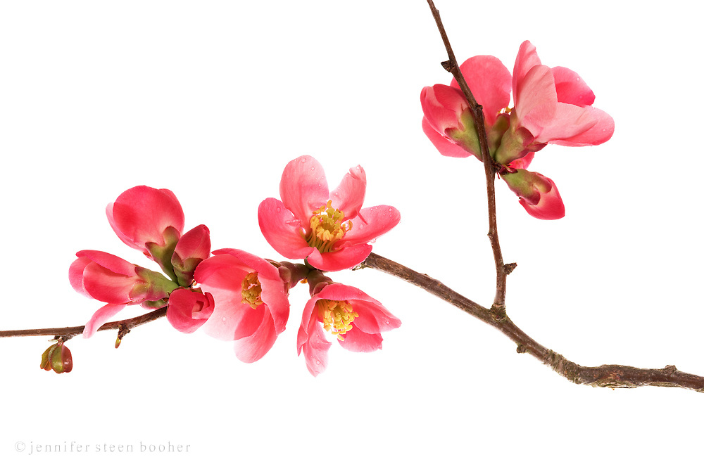 Flowering Quince (Chaenomeles speciosa) on a white background