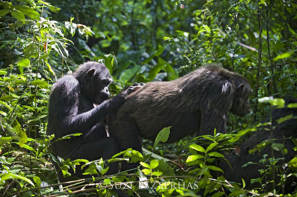 Chimpanzee<br /> Pan troglodytes<br /> Social grooming in morning sun<br /> Tropical forest, Western Uganda