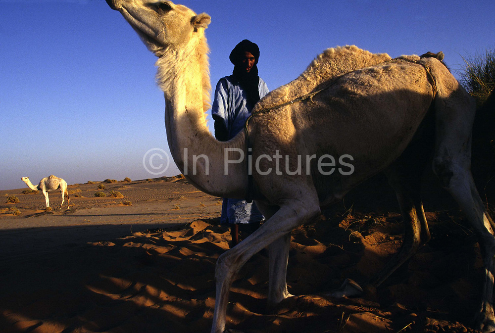 A nomad goes to tend his camels in the Sahara Desert between the cities of Chinguetti and Choum in Mauritania. Nomads live by trading their camels and produce that they buy and sell.